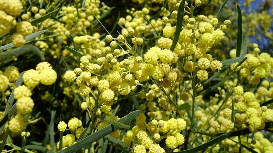 Flores amarelo-pálidas, reunidas em capítulos; vêem-se algumas gemas florais ainda por abrir.
