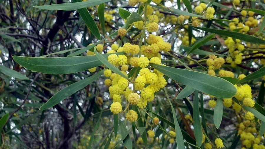 Flores amarelo-pálidas, reunidas em capítulos; vêem-se também os fillódios com nervura central, relativamente simétricos.