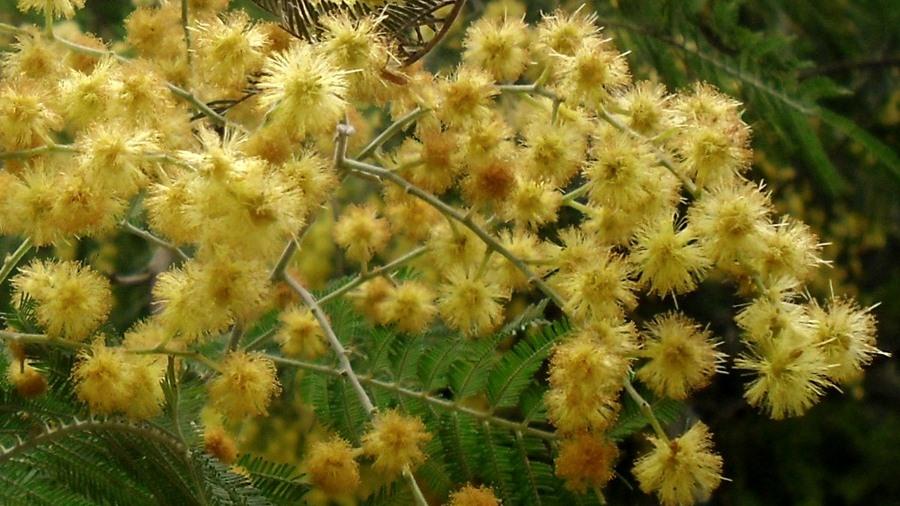 Inflorescências com flores senescentes. | Inflorescence with old flowers.