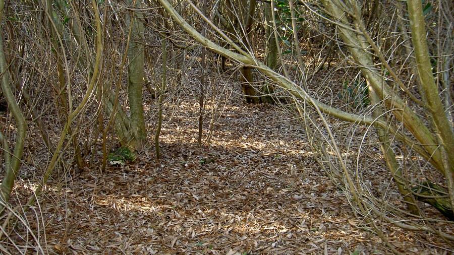 Interior de uma área invadida evidenciando a grande quantidade de folhada e a ausência de outras espécies.