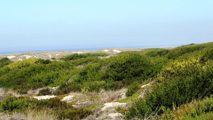 Área invadida, num sistema dunar onde Acacia longifolia atinge quase a duna primária.