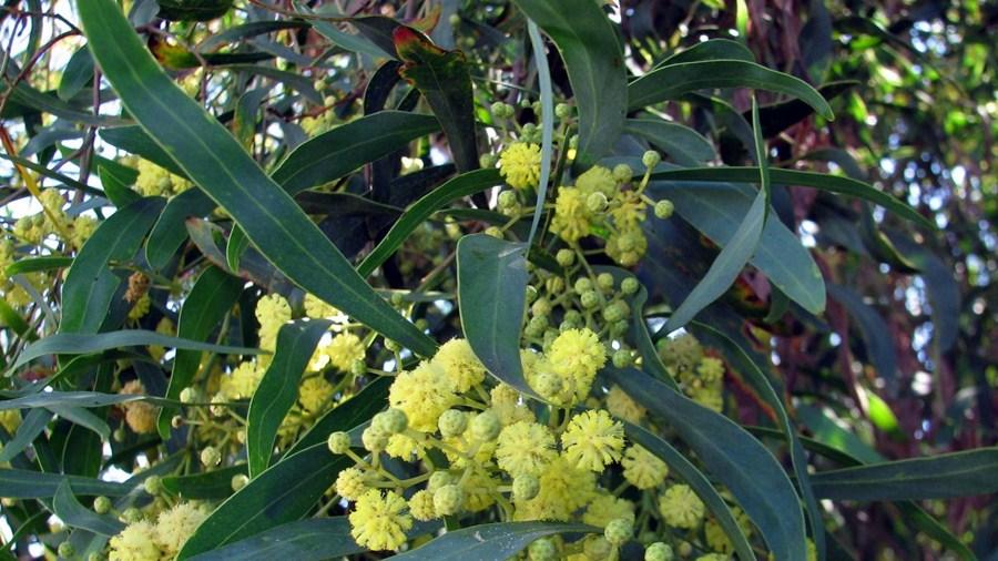 Flores amarelo-pálidas, reunidas em capítulos, e filódios.